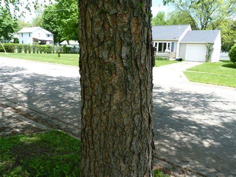 albion trees river birch