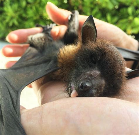 a fruit bat animal lover spends maldives with a fruit bat