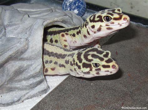 leoparden deko geckos onlinegeckos gecko breeder