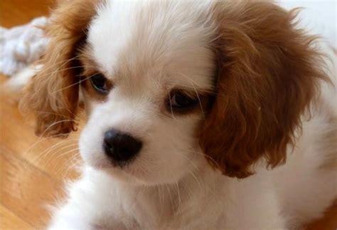 cagnolini da appartamento cani piccolissimi da appartamento duylinh for