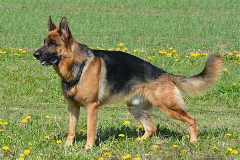shepherd breeds german shepherd all big breeds