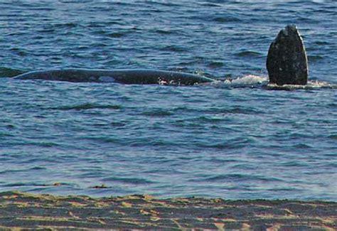 whale malibu paddleboarder encounters gray whale in malibu