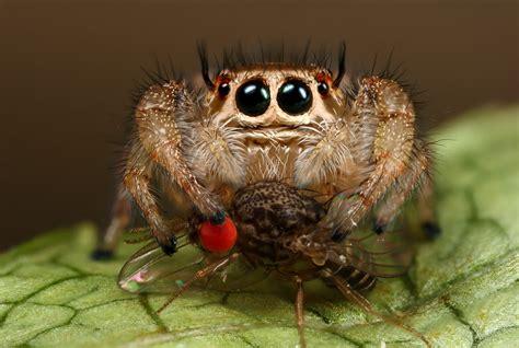 Sad Spider Meme - jumping spiders lunch by macrojunkie on deviantart