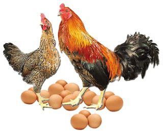 Bibit Ayam Kub bibit anak ayam bebek doc dod pakan comfeed broiler