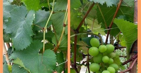 2 Biji Benih Buah Anggur Mix 2 Warna semua menjadi anggur dalam pasu
