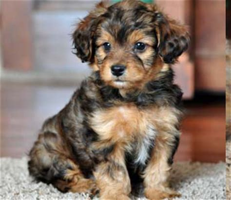 puppies  design  multipoo schnoodle yorkshire