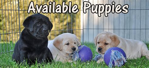 puppies for sale near me golden labrador puppies for sale near me dogs in our photo