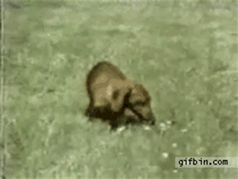 narcoleptic puppy narcoleptic best gifs updated daily