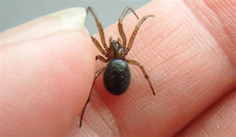 8 facts about the misunderstood house spider mnn