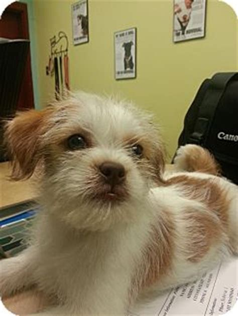 fox terrier and shih tzu mix ready for adoption shih tzu wirehaired fox terrier mixed breeds picture