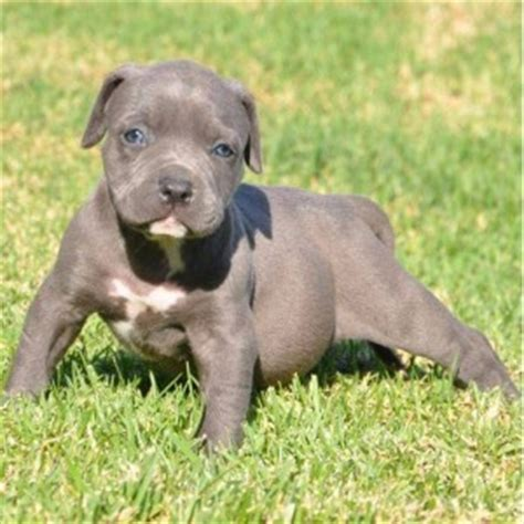 bully puppies for sale in michigan american pit bull terrier puppies for sale grand rapids