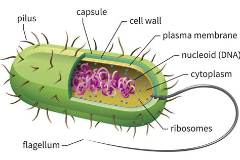 bacterial cell diagram labeled learn about prokaryotic cells