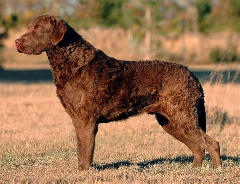 Chesapeake Bay Retriever Shed by Sporting