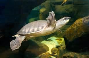 Turtle Night Light National Aquarium Pig Nosed Turtle
