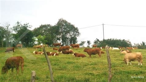 Bibit Sapi Di mengembalikan potensi bibit sapi lokal