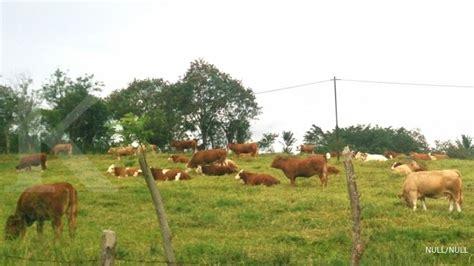 Bibit Sapi Di Bengkulu mengembalikan potensi bibit sapi lokal