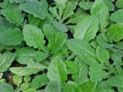 Otem Obat Tetes Mata Naturaid 1 obat herbal alami daun dewa