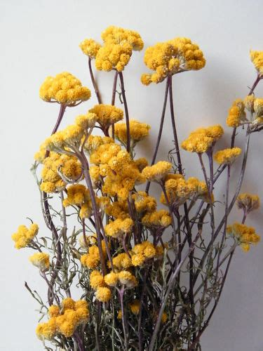 dried flowers new in dried flowers shop