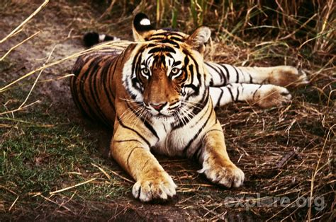 tiger biography in hindi the hunted tigers of india explore