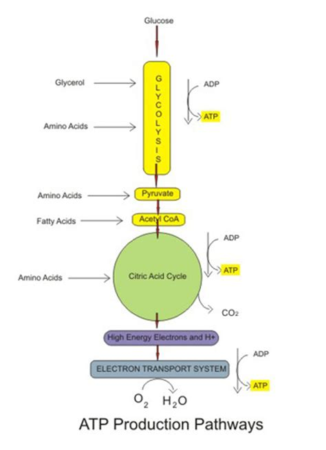 carbohydrates in atp production aerobic cellular respiration stages equation products
