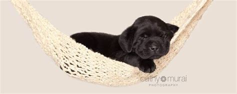 golden retriever puppies in southern california golden retriever breeders southern california dogs in our photo