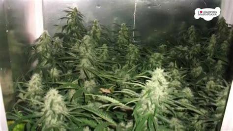 zimmer anbauen small indoor marijuana grow room setup