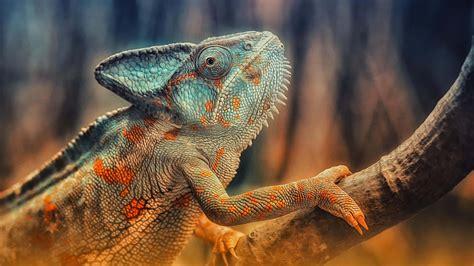imagenes 4k wallpaper animales chameleon on branch uhd 4k wallpaper pixelz