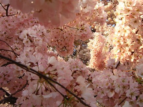 cherry tree cost how much does a japanese cherry blossom tree cost