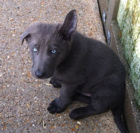 solid blue dachshund puppies for sale german shepherd puppy solid blue boy waterlooville hshire pets4homes