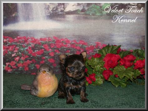 yorkie puppies for sale in alexandria la tiny teacup poodle puppy for sale