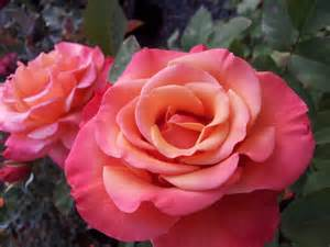 Huge Vase Tuscan Sun Floribunda Rose Of Dazzling Beauty And
