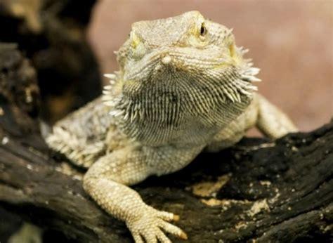 lade per rettili lade per drago barbuto estroflessione della barba nella