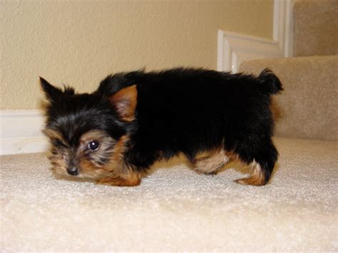 cheap yorkies yorkie puppies for adoption