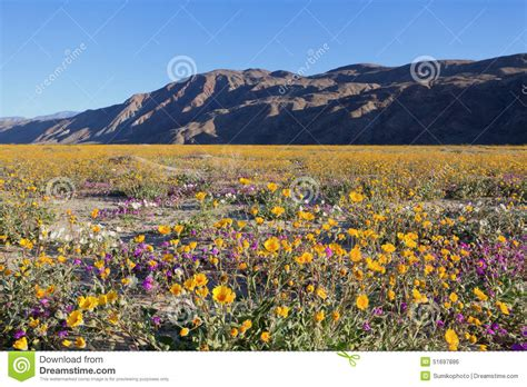 anza borrego spring flowers naturetime wildflowers in anza borrego stock photo image of