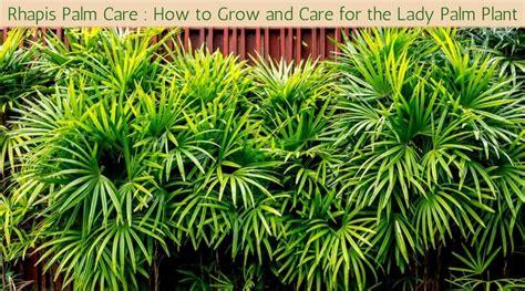 rhapis palm care   grow  care   lady palm