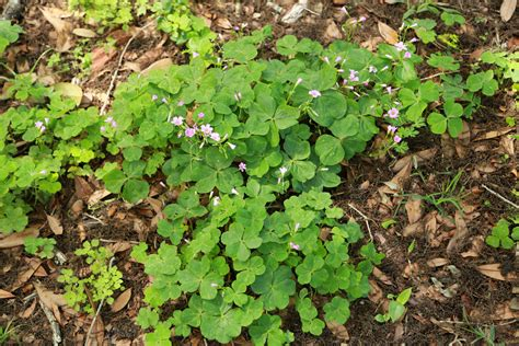 identification of herbs wildr wild plant identification foraging for edible weeds