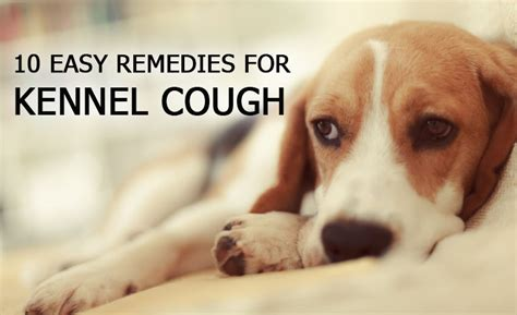 ten safe and easy remedies for kennel cough dogs