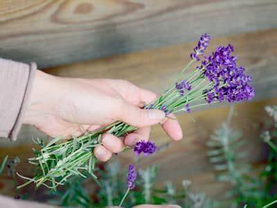 Lavendel Schneiden Und Trocknen by Lavendel Schneiden Und Trocknen Tipps Hagebau De