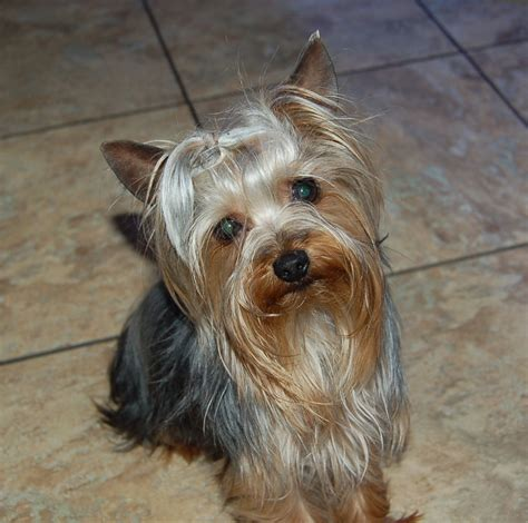 silver blue yorkie silver and gold terrier breeds picture