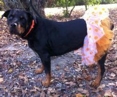 rottweiler costume dressed up animals on animals in costumes cats in costumes and