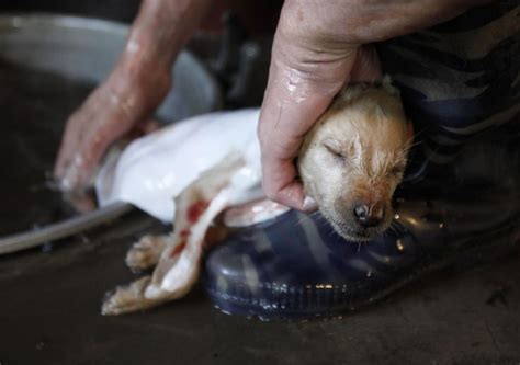 dog slaughter house dog meat trade thrives in summer slaughtering man s best friend photos
