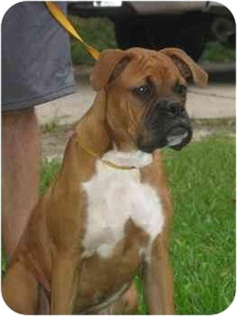 boxer puppies jacksonville fl tristan adopted b09 006 jacksonville fl boxer