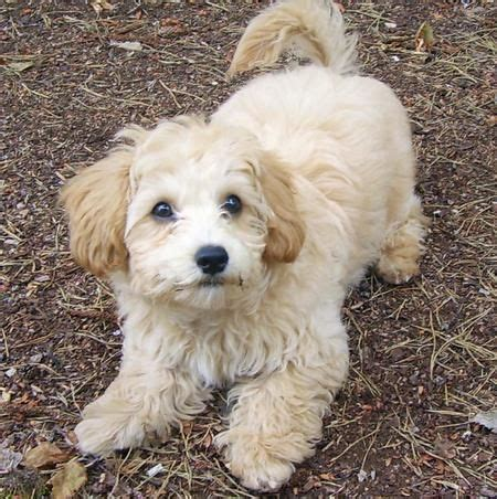 yorkie maltese poodle mix 25 best ideas about maltese poodle mix on maltese poodle puppies maltese