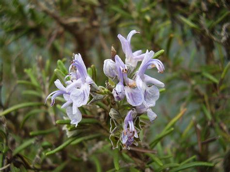 fiori rosmarino rosmarinus officinalis