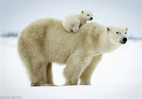 Set Overall Baby Bears polar cub gets a lift in set of heartwarming