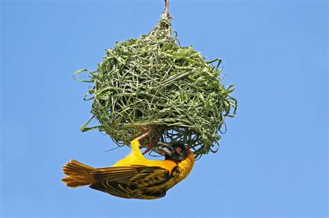 The Birds Nest weaver bird nest www pixshark images galleries