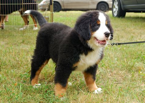 bernese puppy bernese mountain pictures lifespan rescue temperament information animals adda