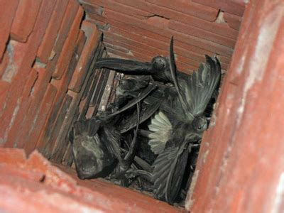 Bats In Fireplace Chimney by 301 Moved Permanently