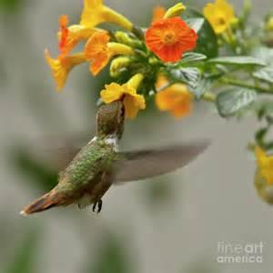 hummingbird sips nectar photograph by heiko koehrer wagner