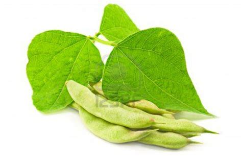 bean leaves bed bugs could kidney bean leaves really counter bed bugs